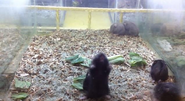 Harlem Shake Hamsters