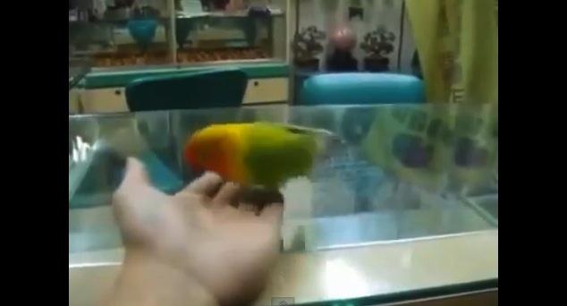Harlem Shake perroquet et sa danse sexy