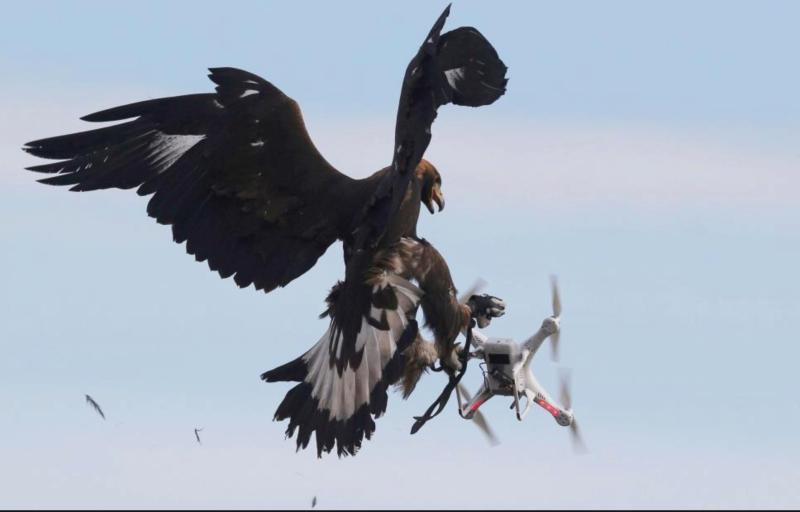 Les militaires français utilisent un aigle royal pour attaquer les drones